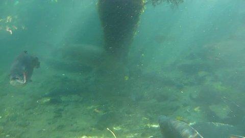 Underwater school of large rainbow trout.