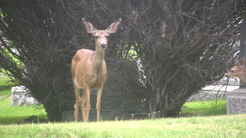 Video of a Utah Mule Deer in a city cemetery in Salt Lake City. Trees, bushes, headstones and garden. Female Doe and fawn trying to nurse. Don Despain of Rekindle Photo