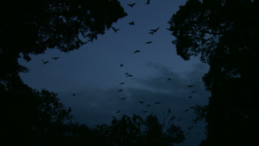 Bats Flying at Dusk - Zoomed Shot | Shutterstock HD Video #497914