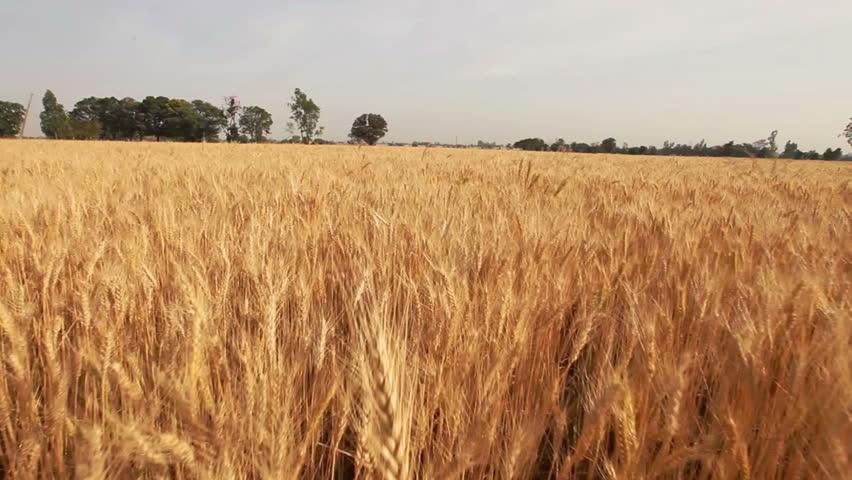 Aerial shot a wheat field