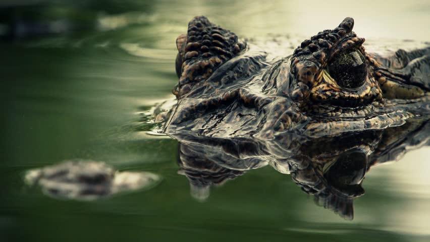 Alligator (yacare)