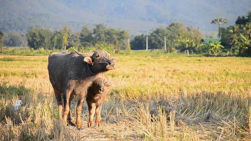 Baby Asia Buffalo And Mother In Countryside Farmland