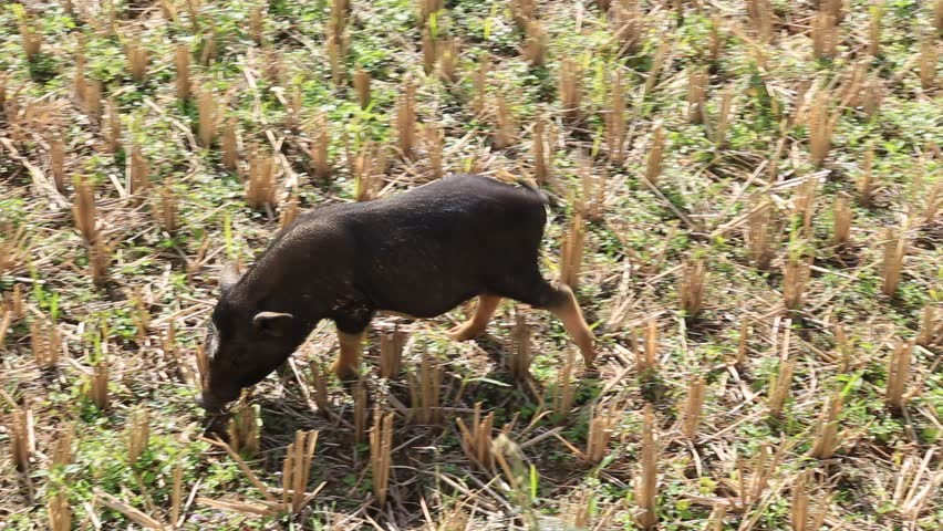 Black pig are eating rice in Mong farm in Sapa, Vietnam