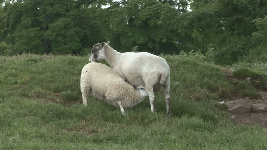 Ewe and her lamb stand. HD.