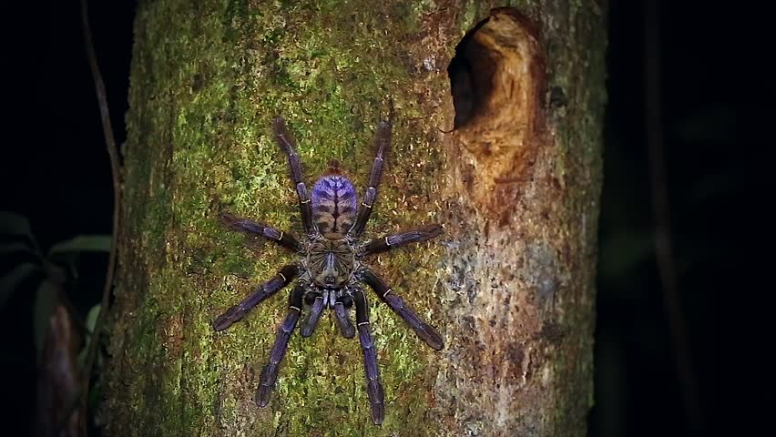 A HUGE Malaysian Earth Tiger Tarantula retreats to her tree burrow in the jungles of Borneo. Similar to Cyriopagopus thorelli, this unidentified species is beautifully colored in pink, purple & blue. #5039699