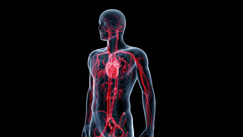 animation showing the human vascular system
