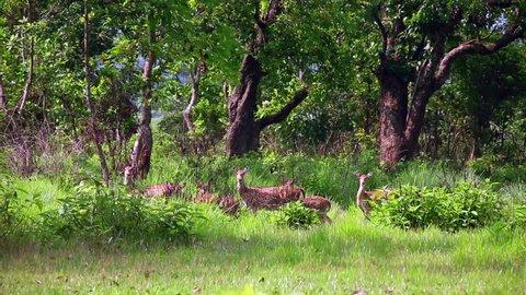 Antelope herd at Chitwan National Park, Chitwan, Nepal
