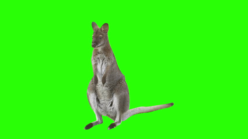 Kangaroo in front of green screen looks at the camera and hops right leaving the scene. Shot with red camera. Ready to be keyed. #5071844