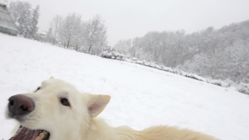Spectacular Slow Motion Close-Up Of White Swiss Shepherd Dog Jumping In High Fresh Snow And Up Into Camera