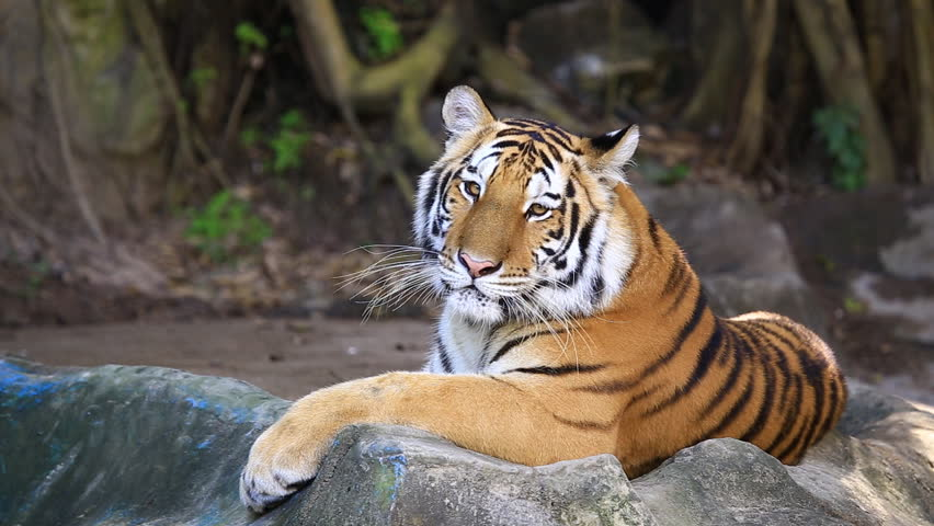 A young bengal tiger male lying and looking back the most tiger hd stock video clip voltagebd Image collections
