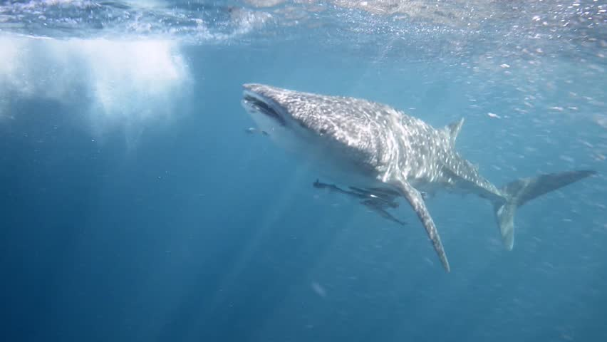 an underwater video clip of a whale shark swimming eratically and fast (Rhincodon typus)