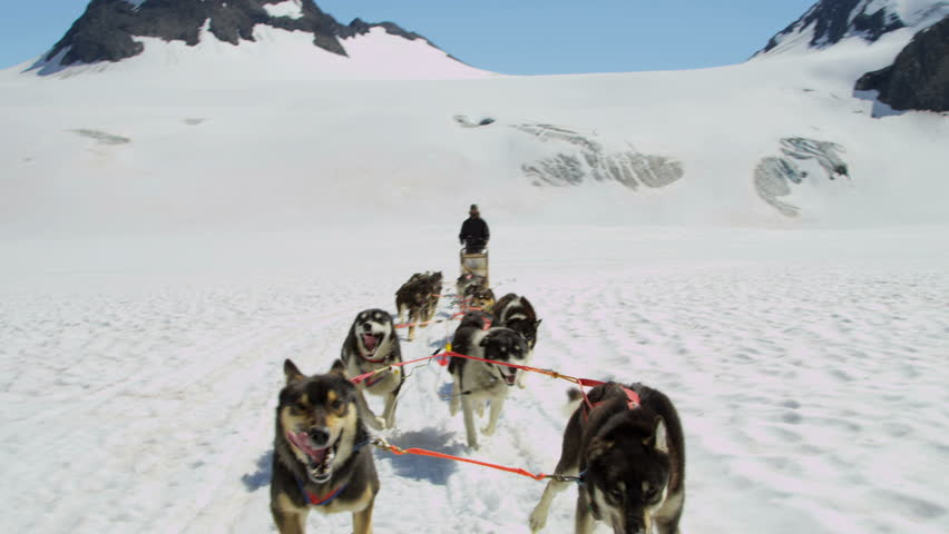 Working Alaskan Malamute dogs with high endurance they are frequently used for tours and dog sled adventures, USA, RED EPIC, 4K, UHD, Ultra HD resolution