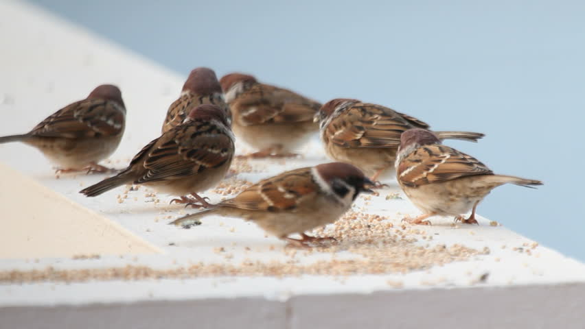 house sparrow,dolly shot