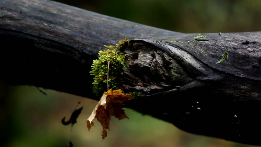 Tree branch with moss and an attached withered leaf that have fallen from above.