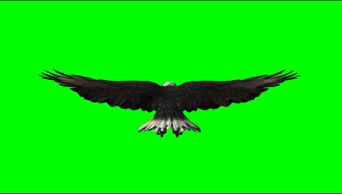 American Eagle fly animal green screen Video Footage