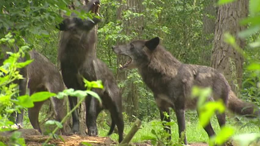 Pack of wolves howling - low angle. Wolves  (Canis lupus) communicate with each other using scents and howling.