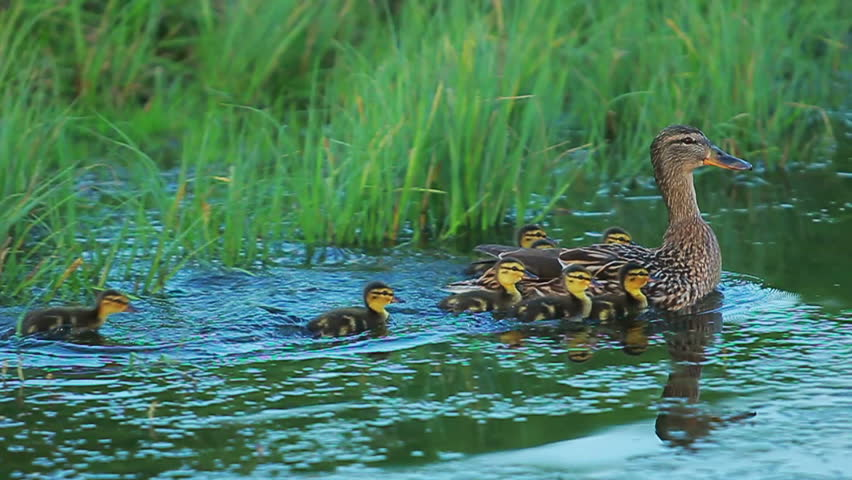 Duck with ducklings on walk floating in the pond water. Harmony of nature.
