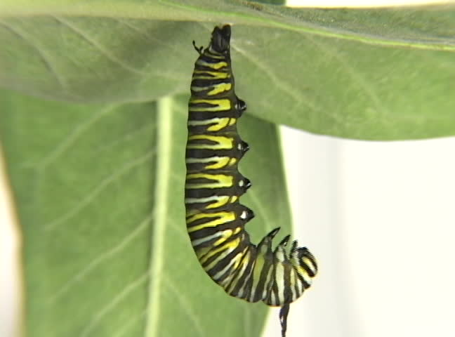 Monarch Caterpillar sheding its skin at X10,000's speed.