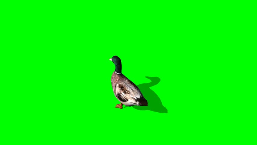 Duck Female eat - seperated on green screen | Shutterstock HD Video #5427884