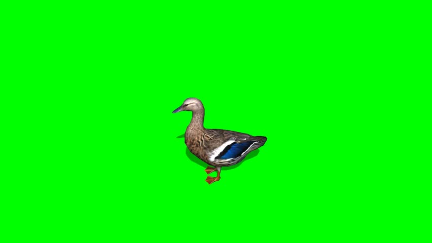Duck Female - seperated on green screen | Shutterstock HD Video #5427911