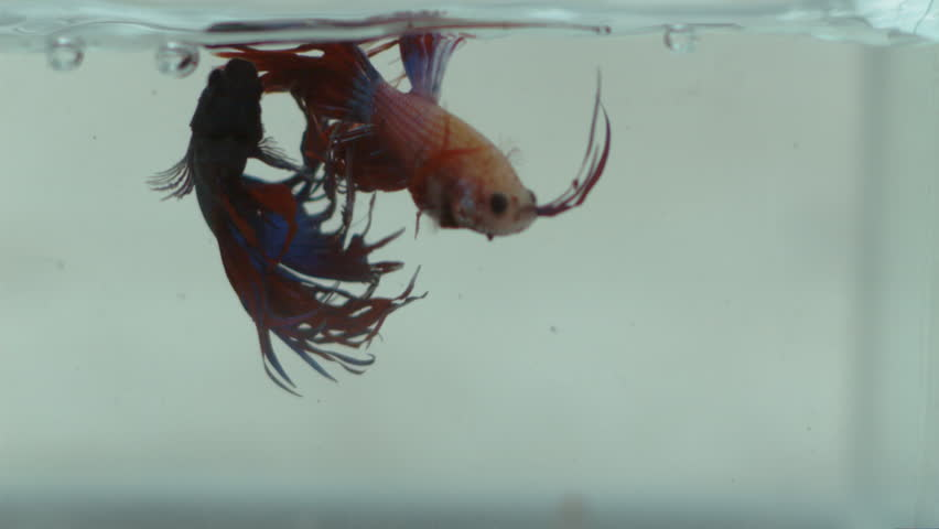 fighting fish fighting in a bowl