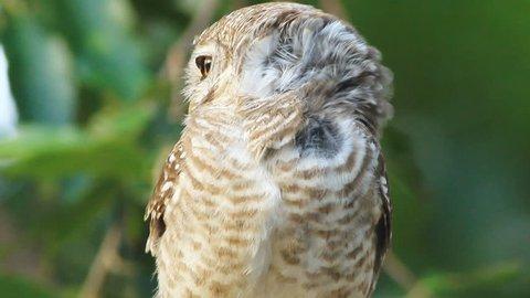 Eastern Screech Owl (megascops Asio) Stock Footage Video