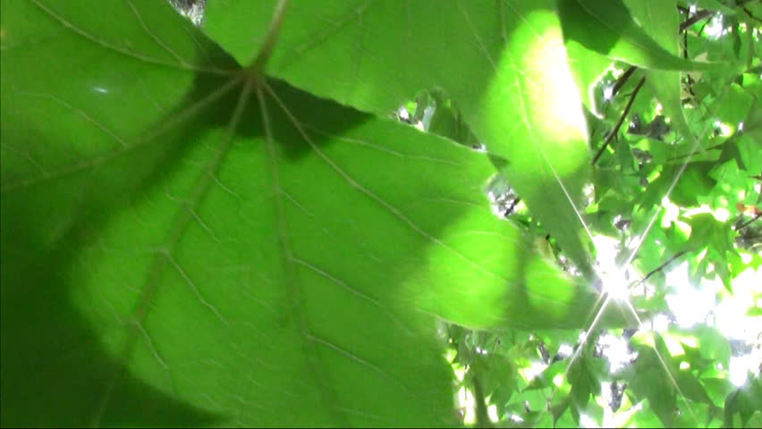 Beautiful liquidambar leaf with sun glare. Recorded with a Canon Legria HF200