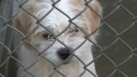 Sad puppy dog in shelter behind fence depressed in slow motion high definition full 30 second commercial production stock video clip 1080 1920x1080 HD