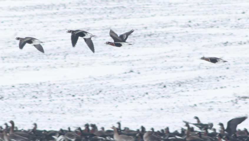 Thousands of geese in winter snow field. Hundreds of White-fronted and Red-breasted geese flying and eating in to the field. | Shutterstock HD Video #5577734