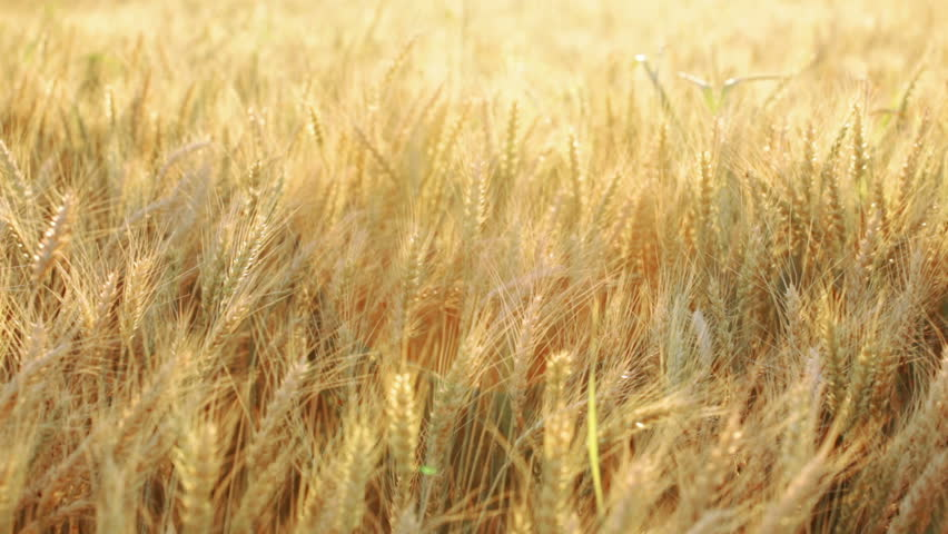 HD 1080: wheat field under sunlight swinging on wind; vivid colors;