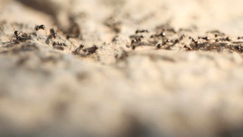 HD 1080 static: ants walking around; macro;