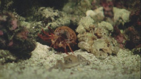 Stomatopod attacks crab and takes its prey into its cave