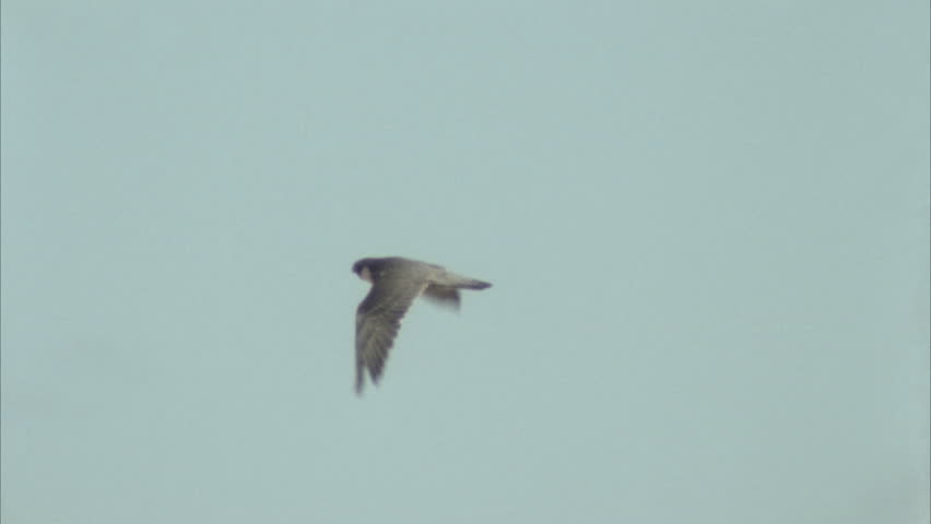 Tracking shot of Peregrine falcon in flight.