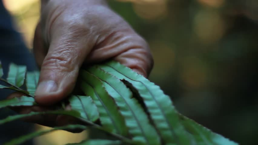 A knowledgeable hand touching a fern