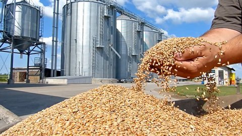 Wheat grain in a hand after good harvest of successful farmer, slow motion, in a background agricultural silo