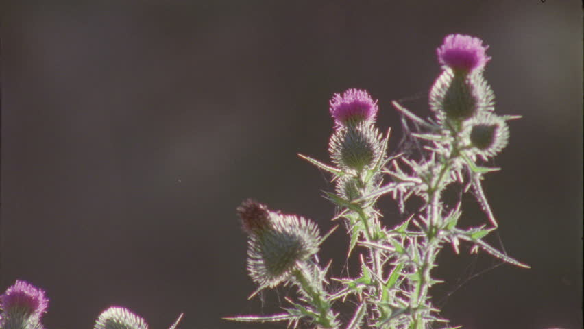 Close up of a Thistle flower