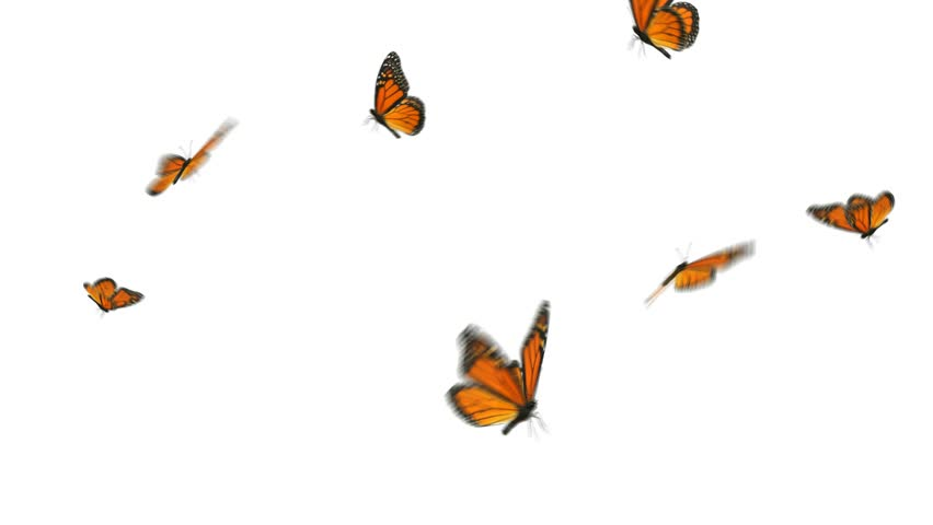 Monarch butterflies flying in a small group. HD 1080, digitally generated and seamlessly loop-able.