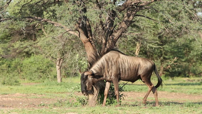 Blue wildebeest (Connochaetes taurinus), displaying territorial behavior, South Africa | Shutterstock HD Video #5932814
