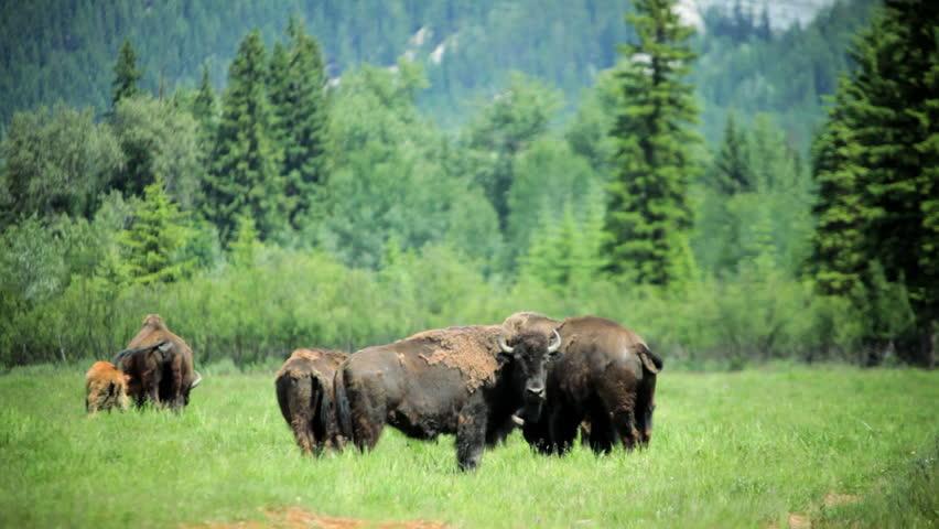 Herd of Bison grazing grasslands with calf forest wilderness summer, North America - Herd of Buffalo grazing grasslands with calf   Shutterstock HD Video #5972234