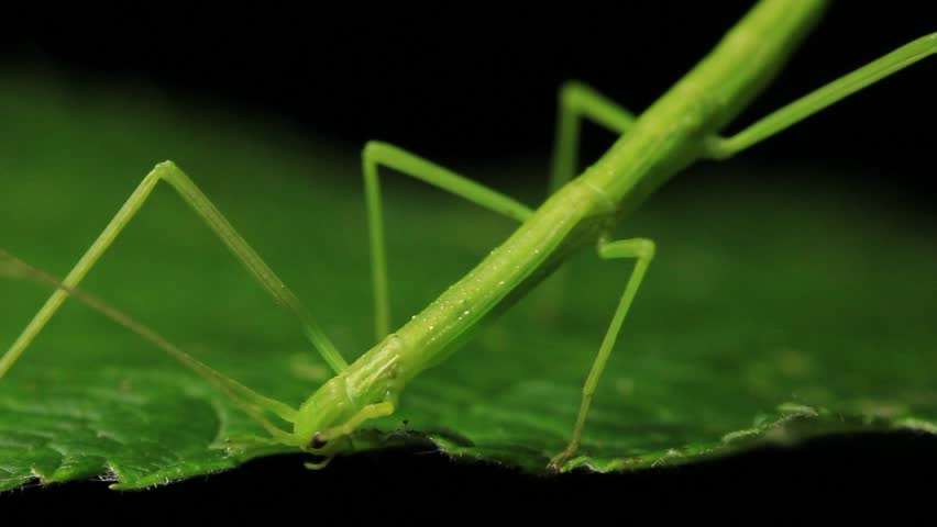 Stick Insect Eating - Phasmatodea Stock Footage Video (100% Royalty-free)  5995994 | Shutterstock