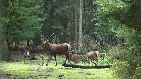 European Red deer (cervus elaphus) stag with harem in forest. Rutting season. Veluwe, The Netherlands.