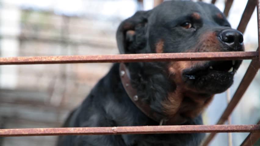 Header of Rottweiler