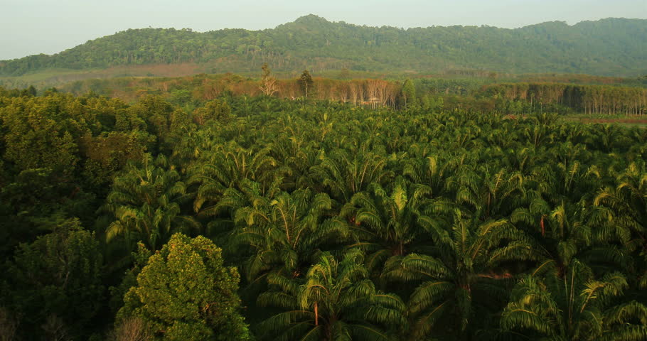 Aerial View: Palm oil plantation in Krabi province, Thailand. February 2014.  Krabi is southern province on Thailand's Andaman seaboard. The region derives much of its income from tourism.