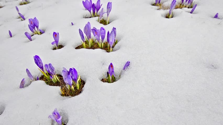 Flowers That Grow In Snow Best Flowers And Rose 2017