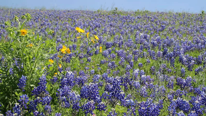 Pov Point View Of A Beautiful Bluebonnets The State Flower Of