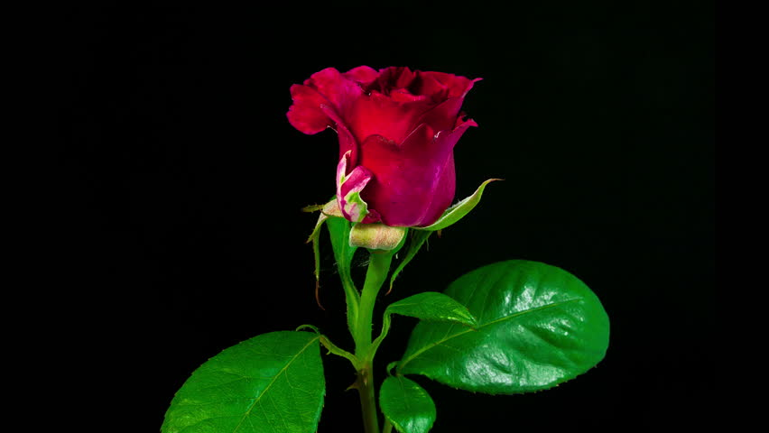 Timelapse of dark red rose flower blooming on black background in 4K