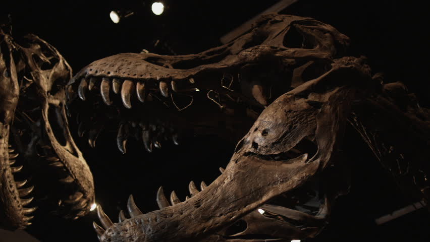 Close Up Pan Dinosaur's skeleton in natural history museum