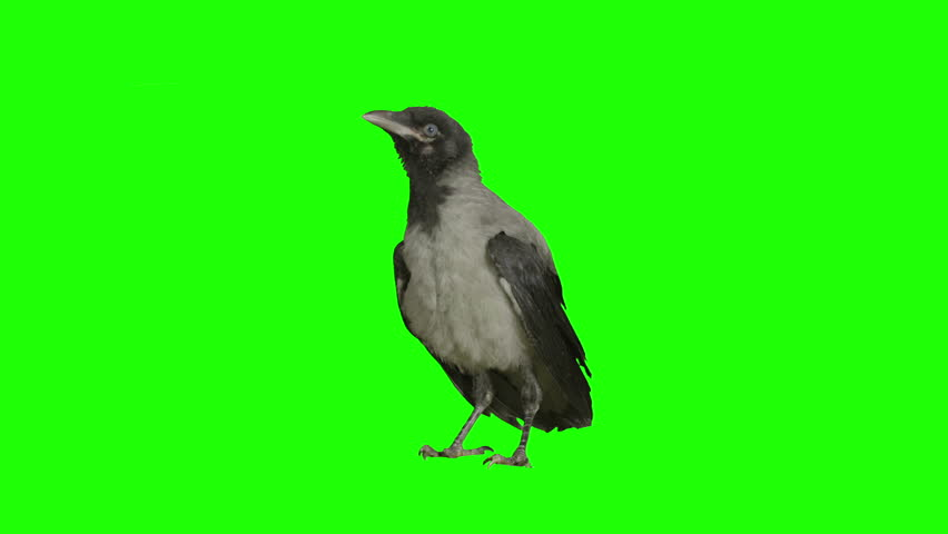 Crow stays stationary and cleans himself on green screen. Pack of three. Shot with Red Epic.