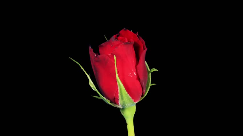 Red rose blooming shot in a studio with a black - Red rose flower hd images ...