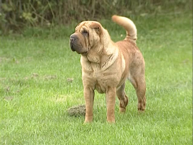 Shar Pei Bitch Wags Tail  Stock Footage Video (100% Royalty-free) 6423314 |  Shutterstock